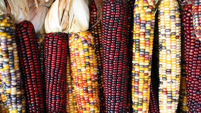 Image: Colorful varieties of heirloom corn laid out next to each other