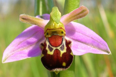 Image: Orchid that looks like a bee