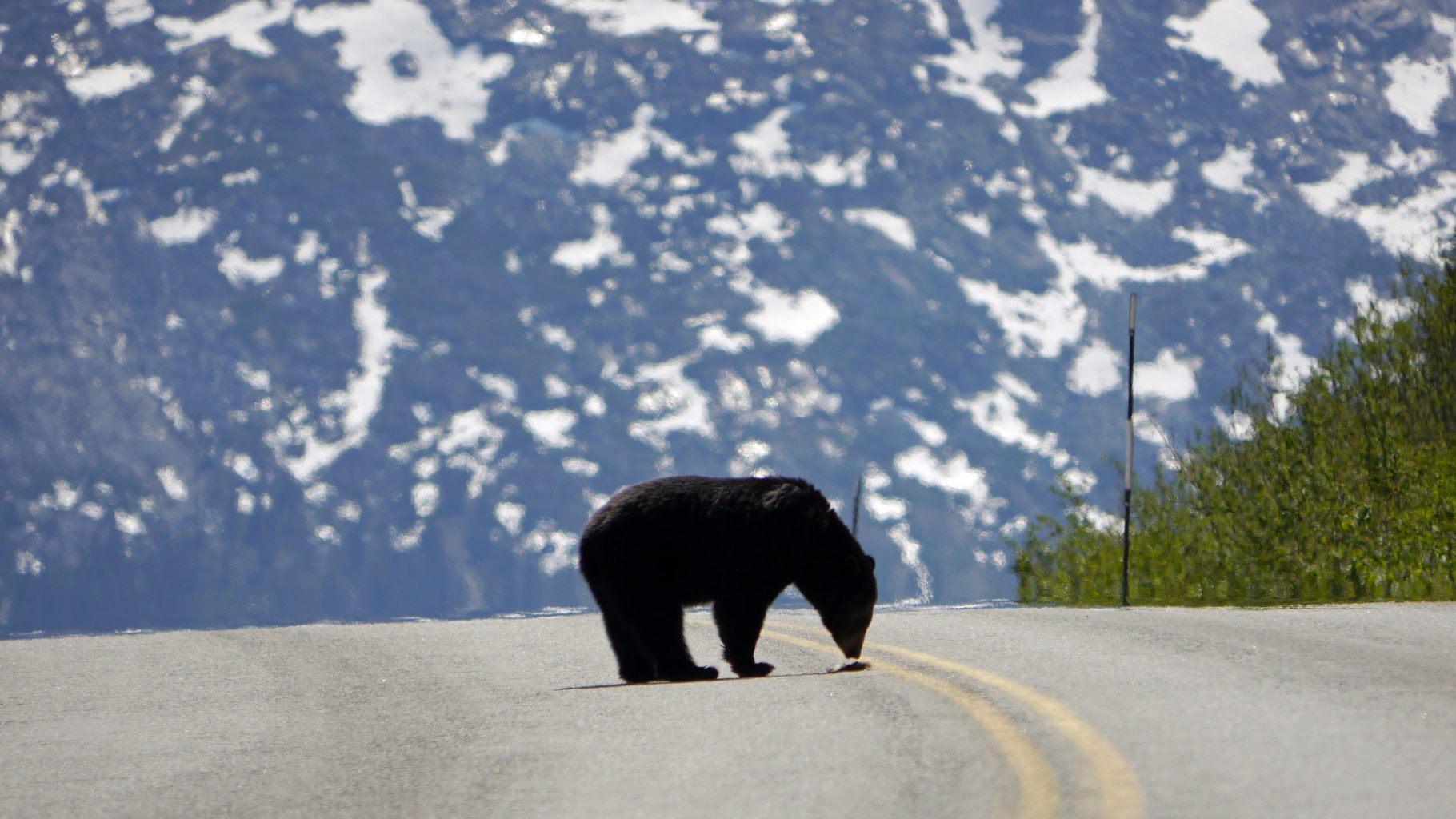 Image: American Grizzly in the middle of a paved road showing wildlife in a concrete world.