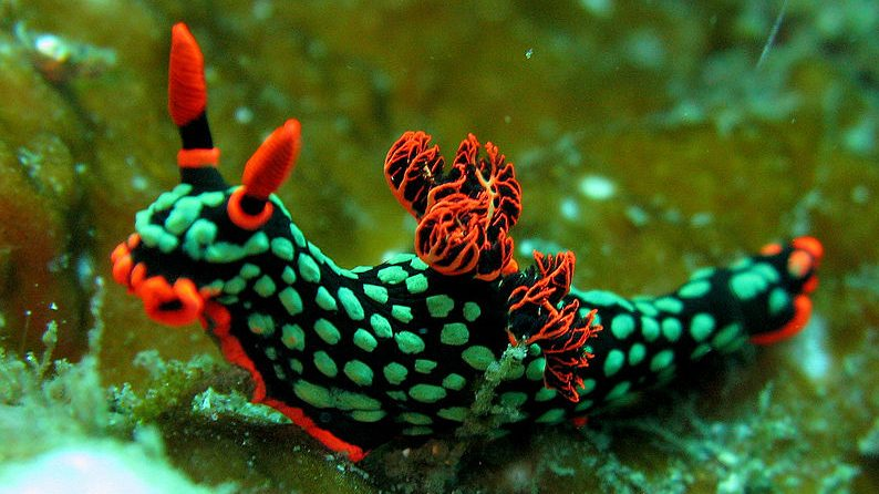Image: One of the many colorful species of sea slugs, Nembrotha kubaryana nudabranch!
