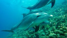 Image: underwater shot of three dolphins. One dolphin is looking at the camera!