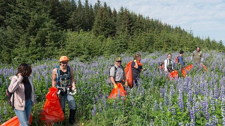 Image: A team of people walk through a field of lupine picking up trash in a national forest