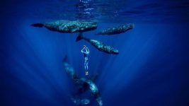 Image: free diver with whales