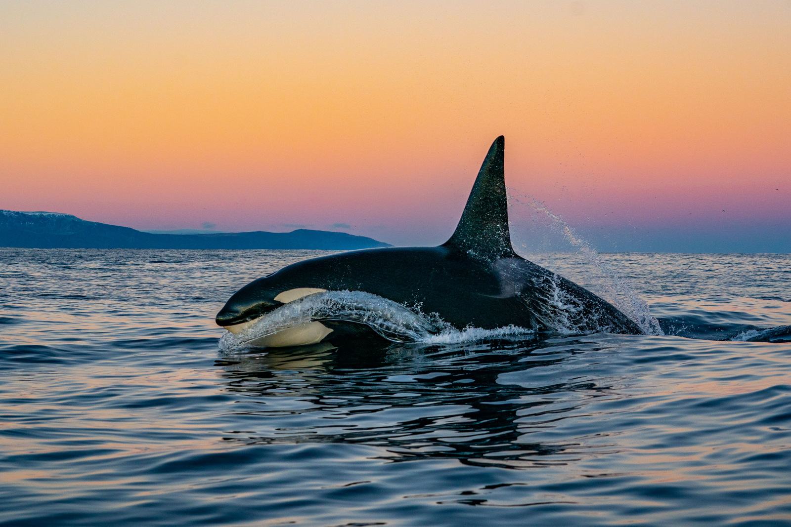 Image: A killer whale leaps from the water with the Norwegian sunset behind.