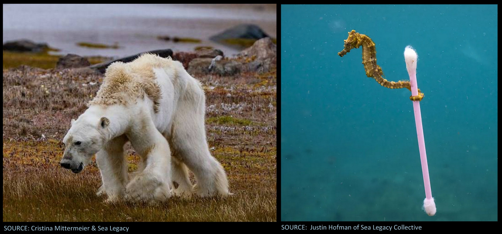 Image: Sea Legacy Collective photographs of starving polar bear and sea horse clinging to a Qtip
