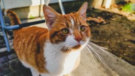 Image: Orange and white cat checking out the camera