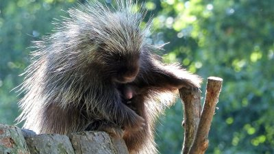 Image: Porcupine sitting on a log