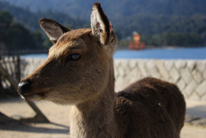 miyajima deer 700x467 - A day trip to Miyajima from Kyoto, Japan