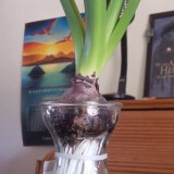 Hyacinth in glass showing roots, BethTerry, Obstacles
