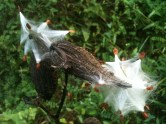Milkweed Pod releasing seeds