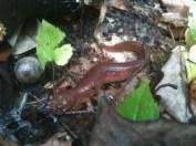 https://everycreepingthing.wordpress.com/2014/10/30/spring-salamander/