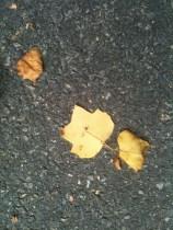 tulip tree yellow leaf