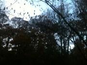 Mimosa Tree Fruiting :-(