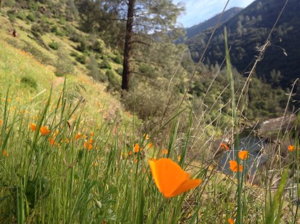 river canyon poppies