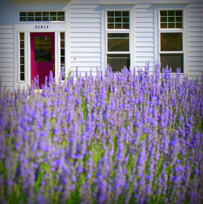 lavender farm in Washington