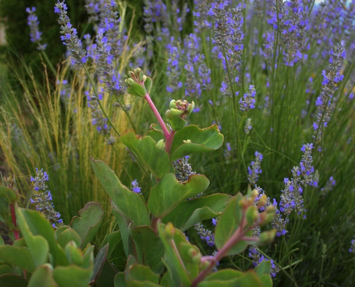 lavender and sedum, plant pairs