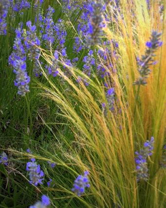 stipa tenuissima and lavender