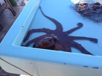 This octopus was spraying water all over the place.