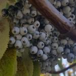 Elderberries in a tree, ready to be picked for Elderberry Elixir