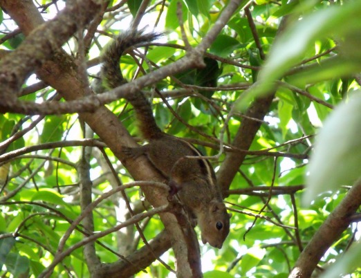 squirrel_mahabaleshwar