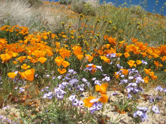 Wildflowers at California Poppy Reserve