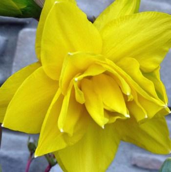 Our First Daffodil (c) jfhaugen