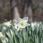 The Daffodil Glade