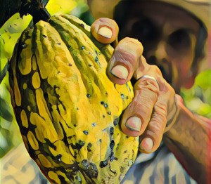 cacao-fruit