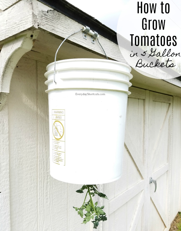 how to grow tomatoes in 5 gallon buckets
