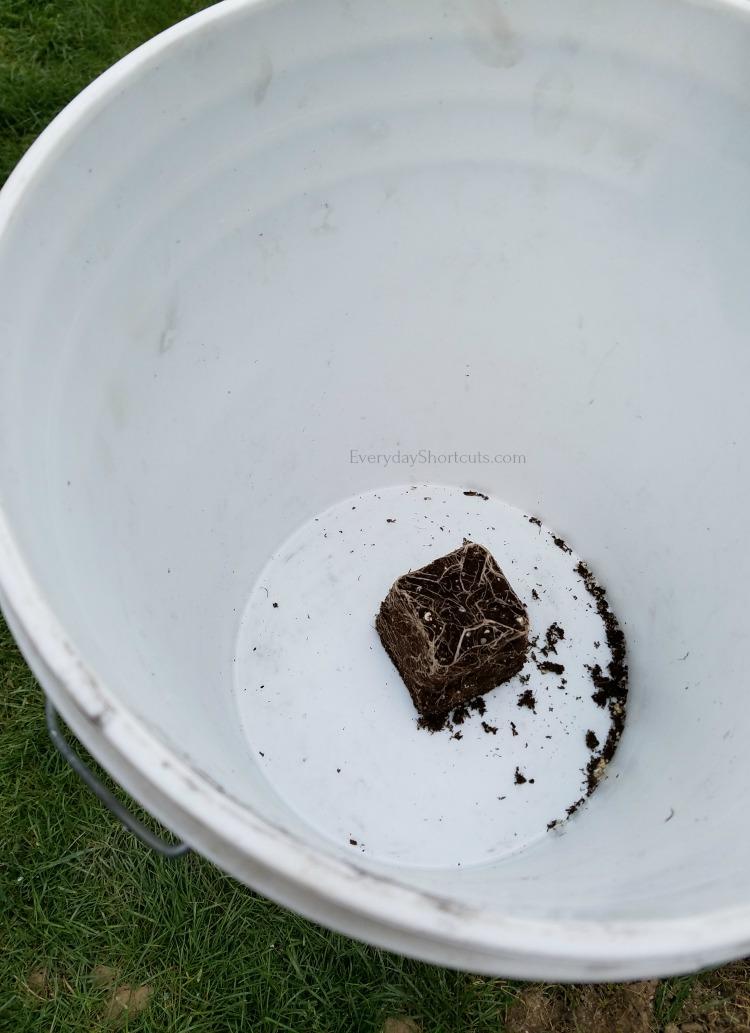 tomato plant in a 5 gallon bucket
