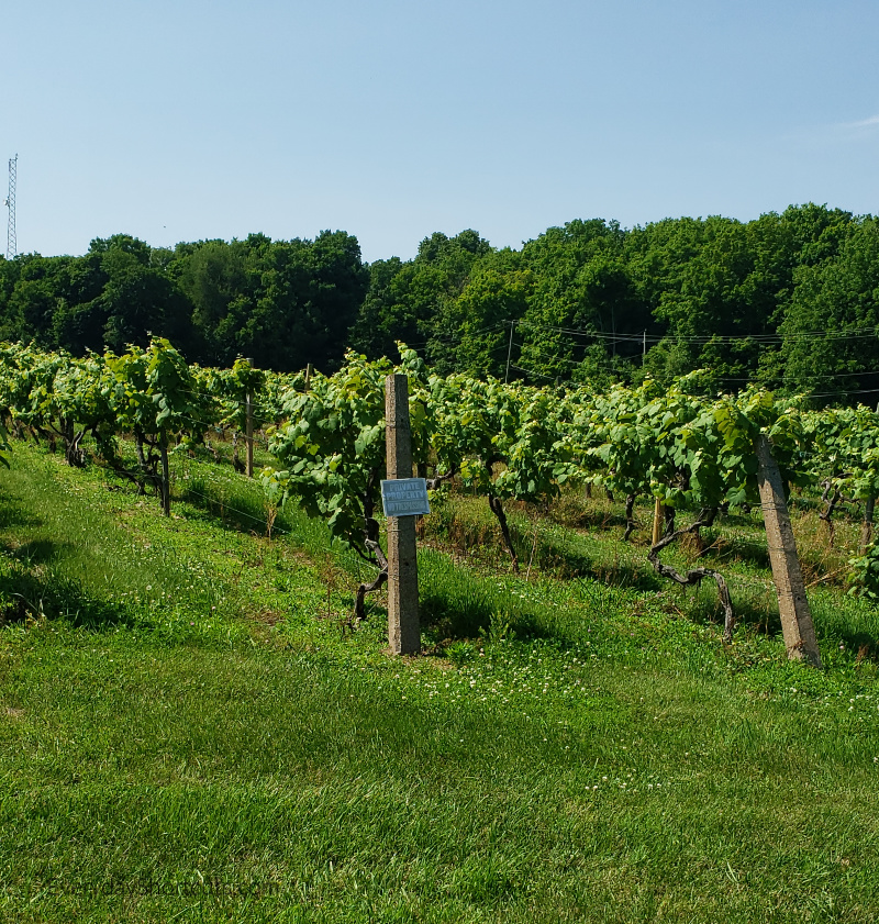 vineyards at put in bay