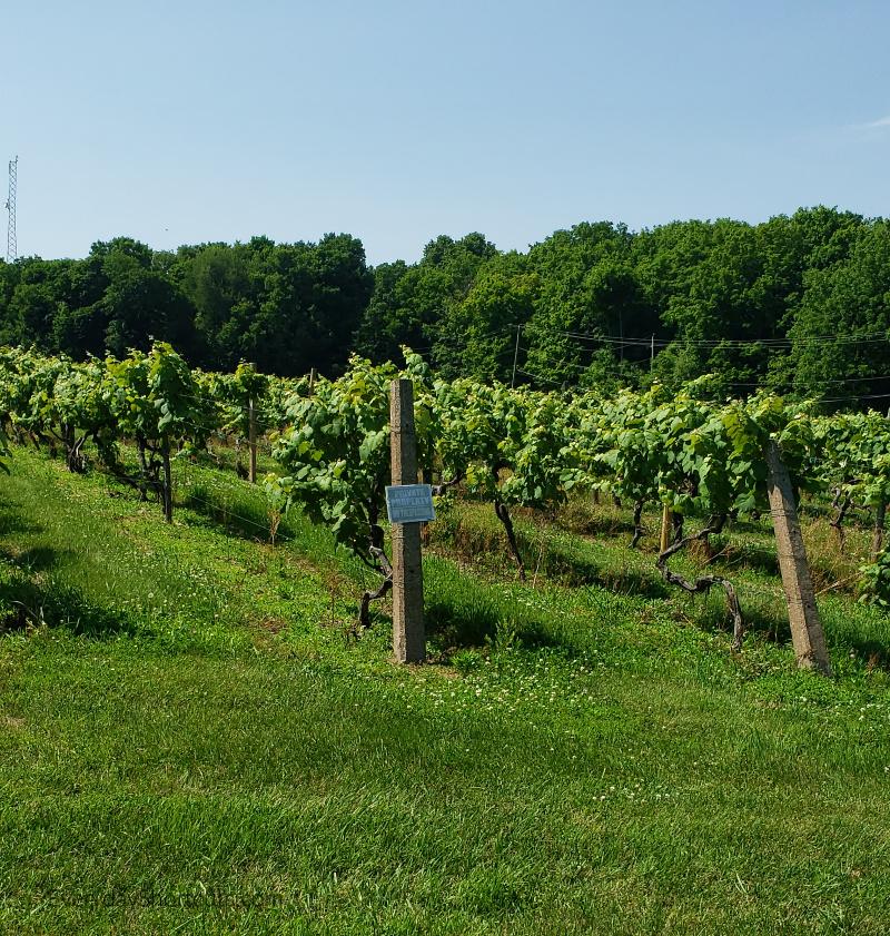 vineyards at put in bay