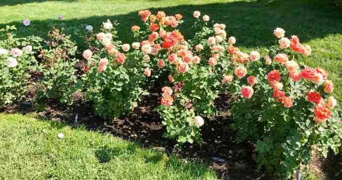 image of rosesrosehillmanito