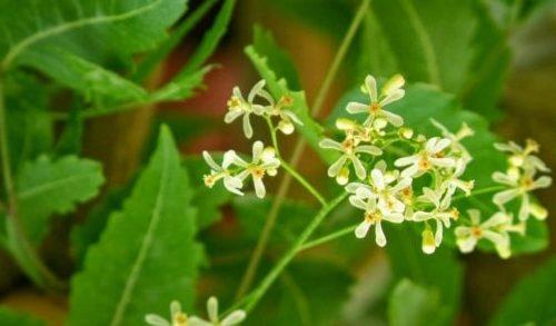 Neem flower. Image source: http://valimurai.com/