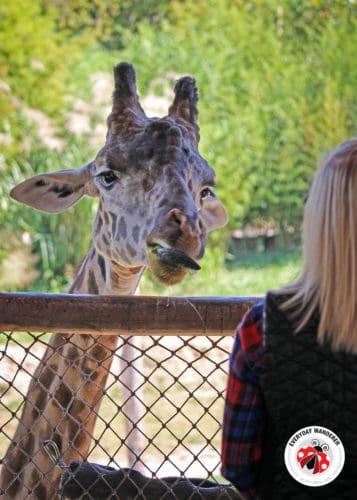 Giraffe Feeding at the Cincinnati Zoo