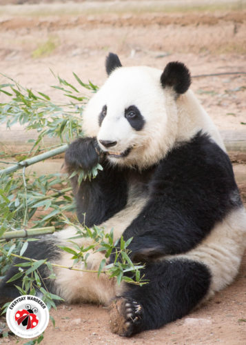 Panda eating bamboo at Zoo Atlanta