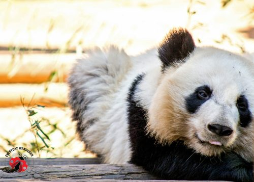 Panda twins at Zoo Atlanta