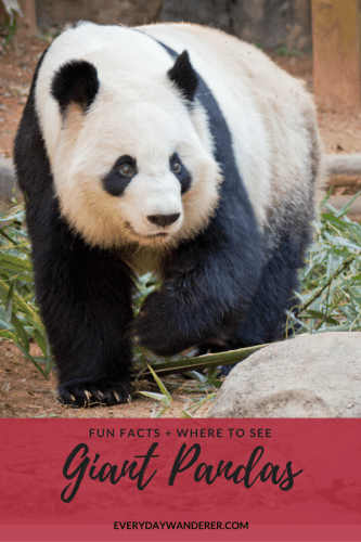 Where to see giant pandas in the US