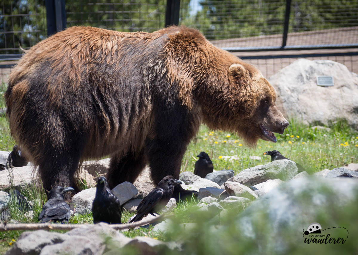 Why You Should Visit the Grizzly and Wolf Discovery Center