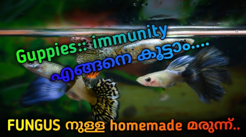how to increase immunity of guppies.. medicine for fungus...