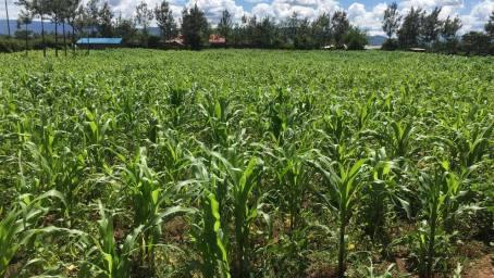a corn field in Africa