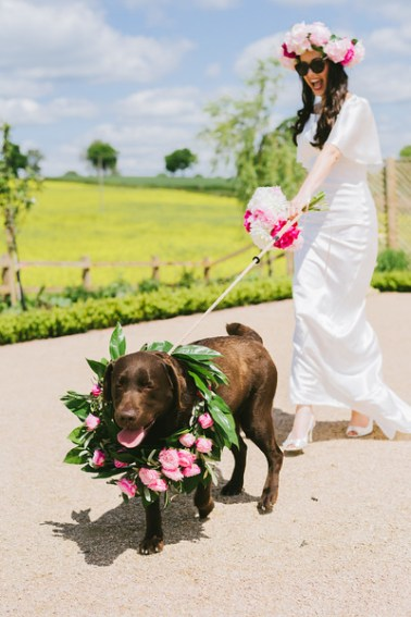 Bride being taken for a walk by a chocolate lab.