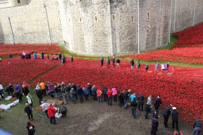volunteers poppies