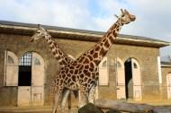 Giraffes in symmetry