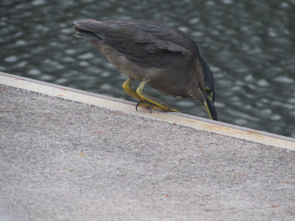 Mangrove Striated Heron catches fish from the pier... (1/6)