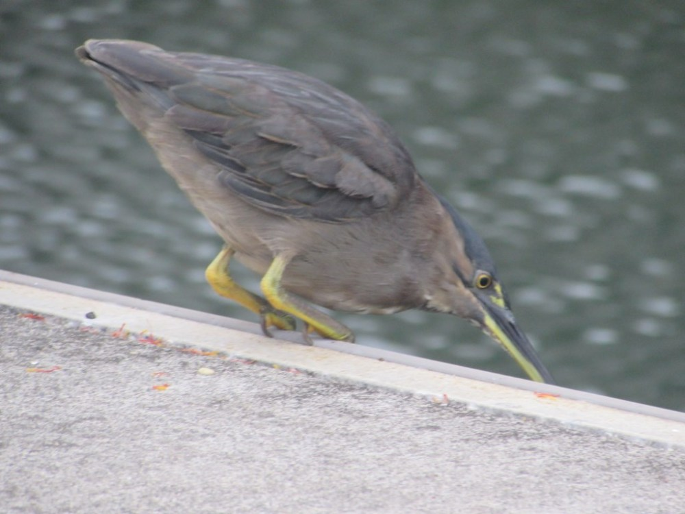 Mangrove Striated Heron catches fish from the pier... (4/6)