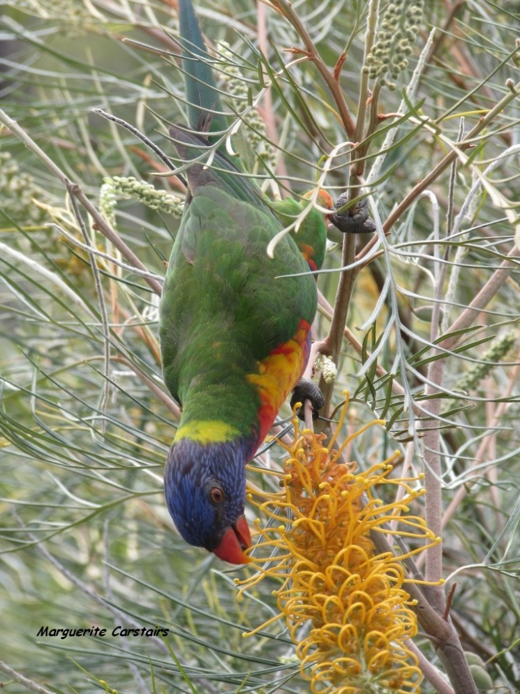 Dining Out...Lorrikeets acrobat on the Grevilleas (4/6)