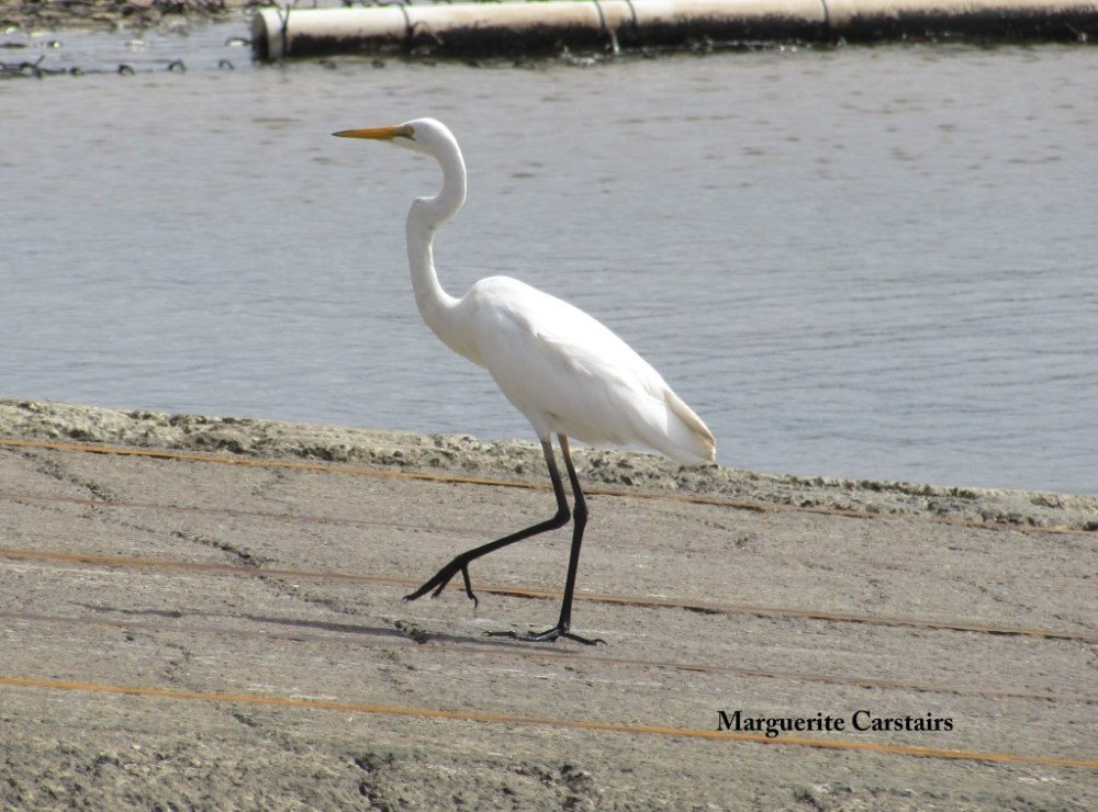 Egret Takes a walk on the wild side (1/6)