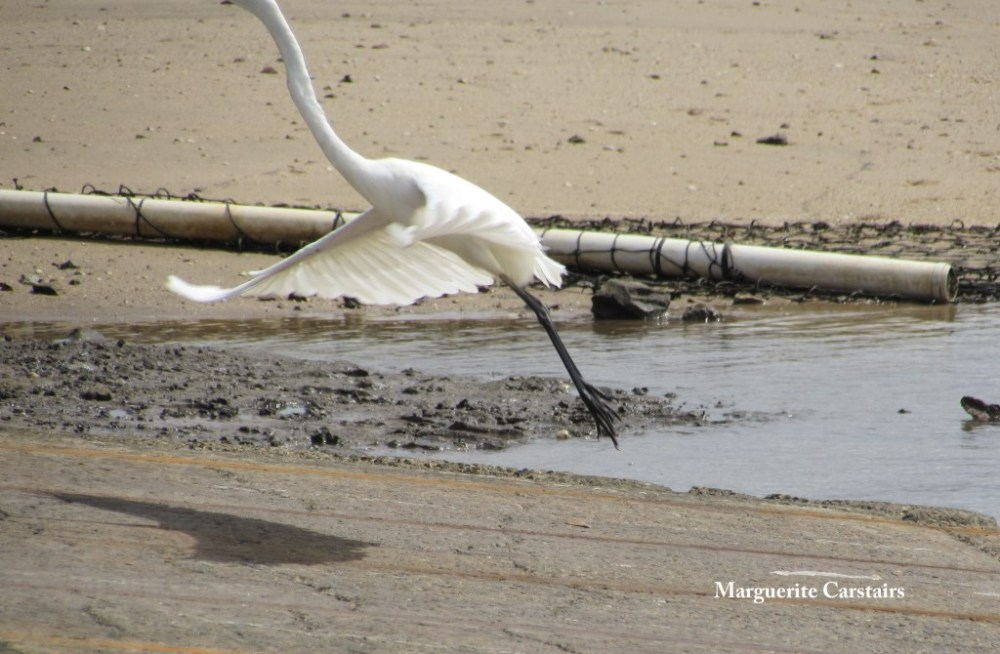 Egret Takes a walk on the wild side (6/6)