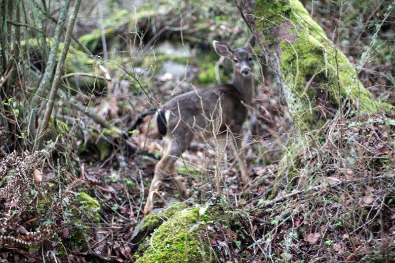 washington deer